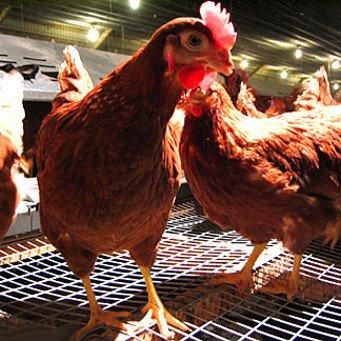 Кукурузный глютен используется птицеводством в качестве кормовой добавки для птицы