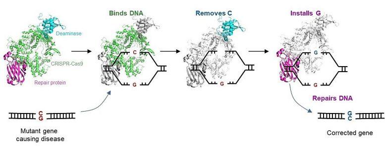 Учёные разработали новый редактор генов для исправления мутаций