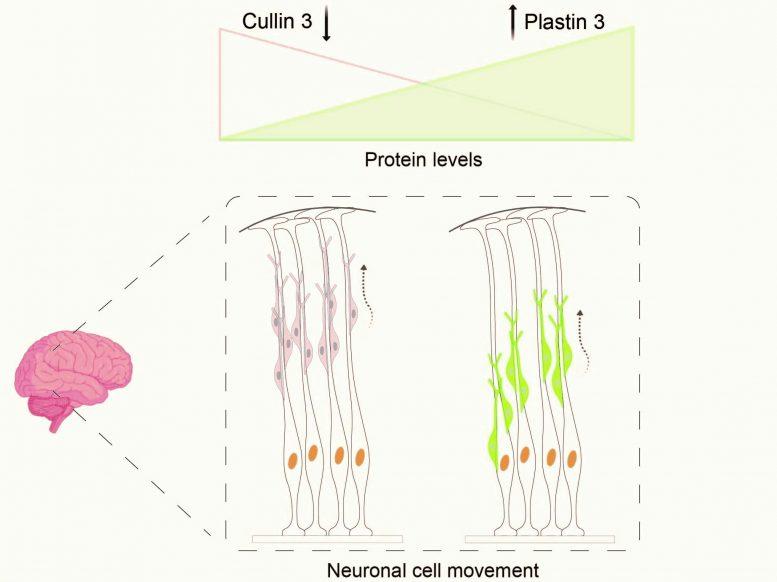 Дефектный ген высокого риска развития аутизма замедляет работу клеток мозга