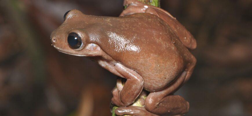 Новый земноводный вид «шоколадных» лягушек был обнаружен в Новой Гвинее