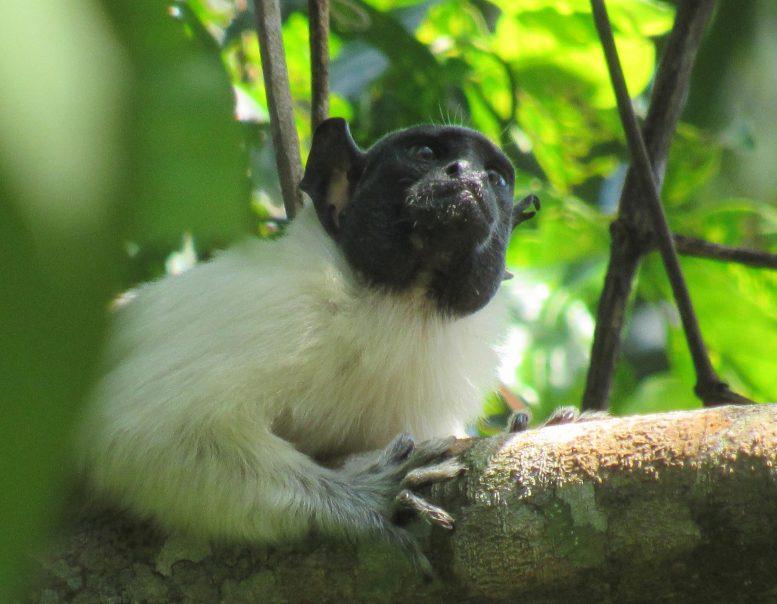 Приматы меняют свой «акцент» на общей территории, чтобы избежать конфликта