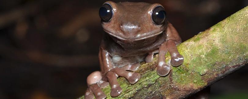 В Новой Гвинее обнаружили шоколадных лягушек