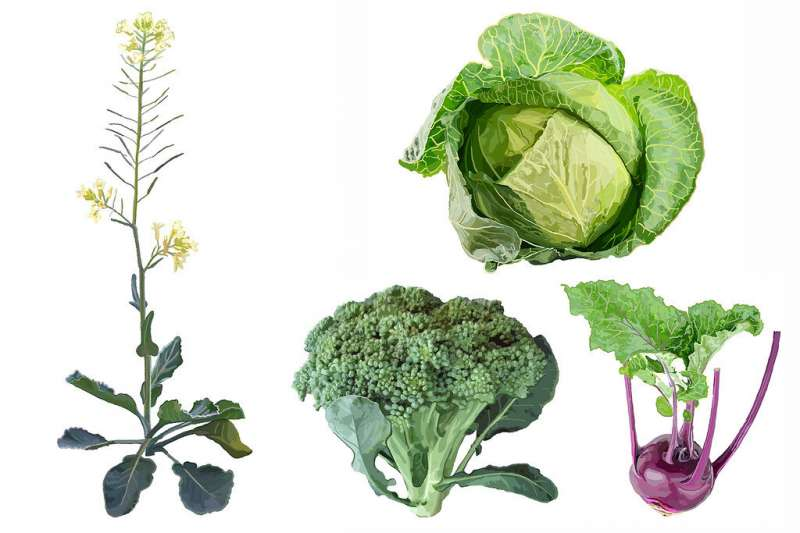 Дикое прошлое может помочь наметить будущее овощей капусты