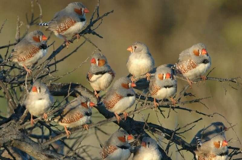 Ранние акустические опыты изменяют метилирование в переднем мозге эмбриона певчих птиц