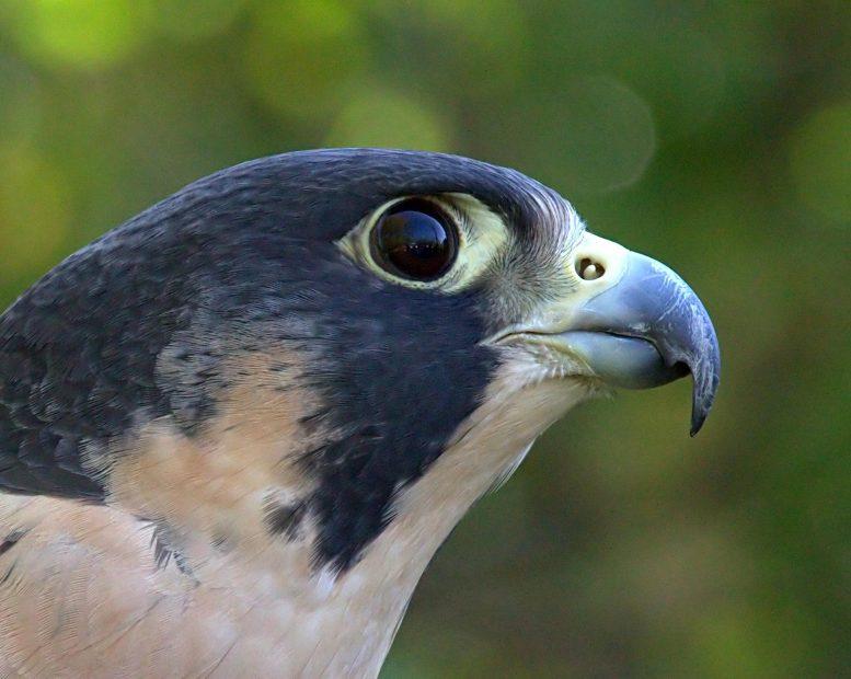 У соколов естественный «макияж глаз», улучшающий способность к охоте