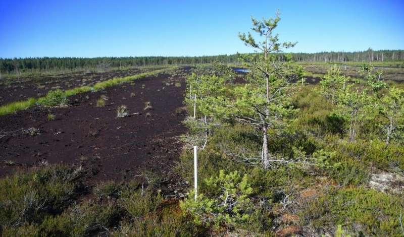 Восстановленные торфяники сохраняют углерод и смягчают последствия изменения климата