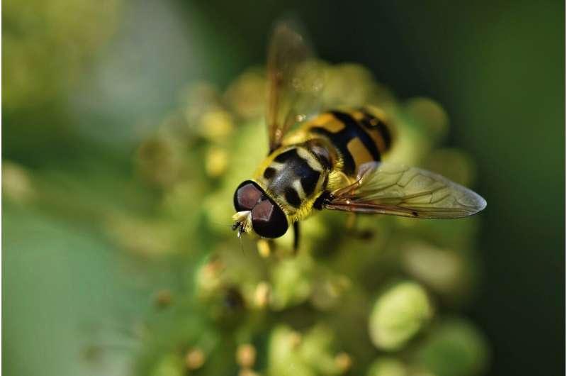 Мухи, изображающие пчел, демонстрируют потенциал опылителей