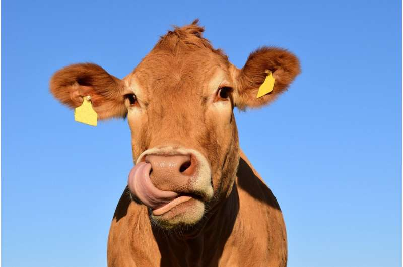 Микробы в желудках коров могут разрушать пластик