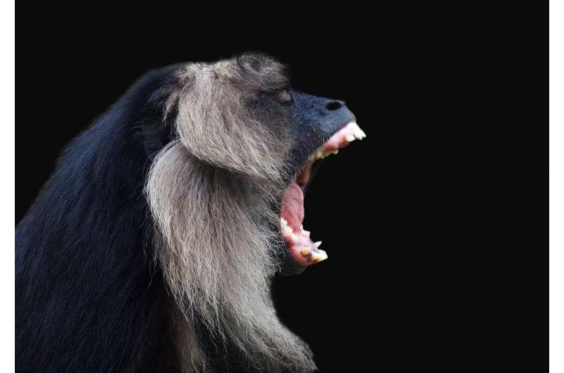 Более терпимые приматы больше нуждаются в голосовом общении