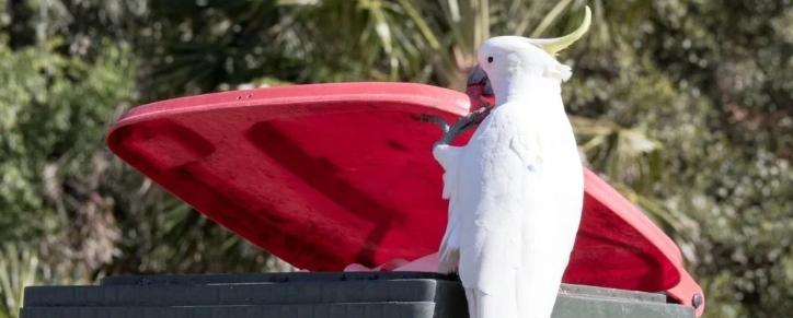 Какаду в Австралии учат друг друга грабить мусорные баки