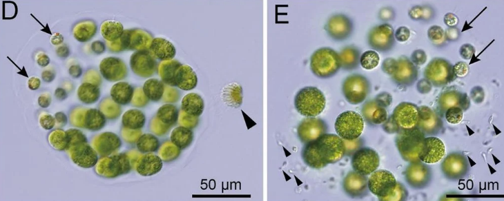 Ученые открыли первые известные виды водорослей с тремя разными полами