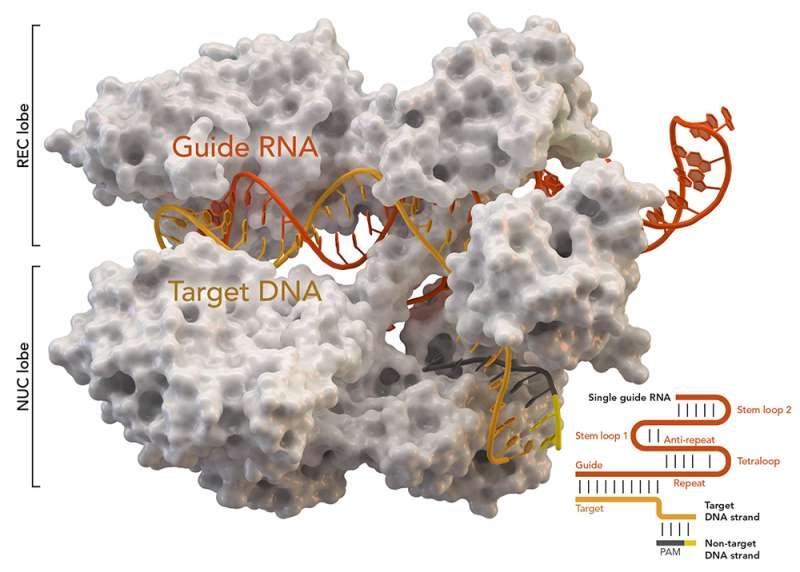 Исследователи разрабатывают спроектированную мини-систему редактирования генома CRISPR