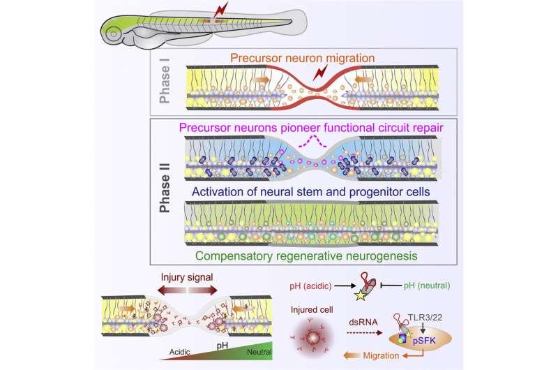 РНК действует как сигнал для начала восстановления после травмы